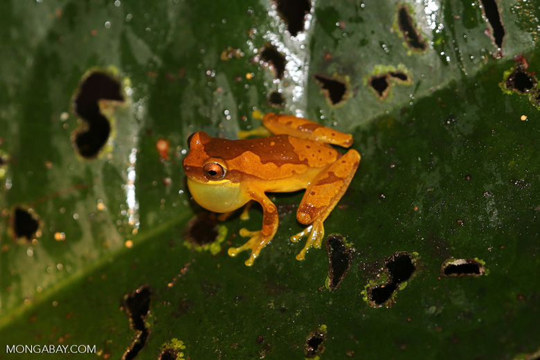 Tree frog [costa_rica_siquirres_1060]
