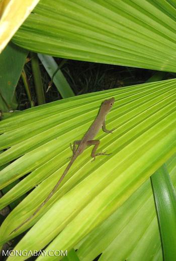 Anole lizard [costarica-089]