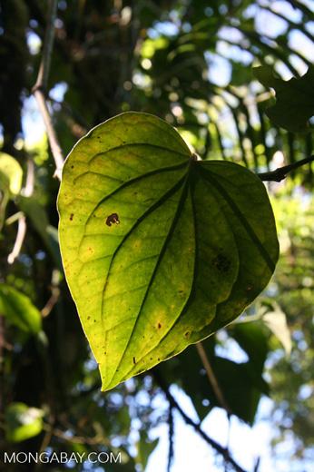 Rainforest leaf [cr_3667]