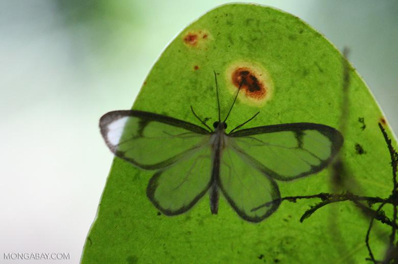 Transparent moth [cr_3680]