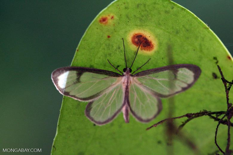 Transparent moth