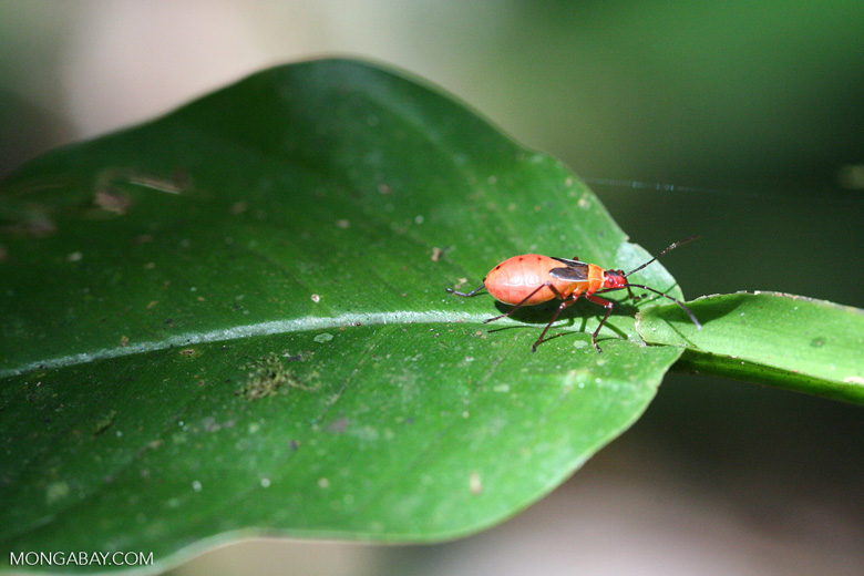 Red, black, and orange insect