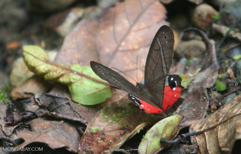 Dark gray and red butterfly (Pierella helvetia incanescens) [cr_3730]