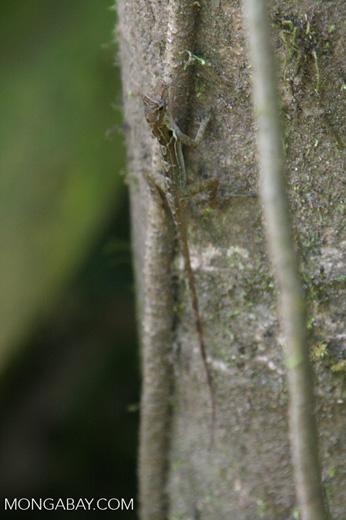 Anole lizard [cr_3740]