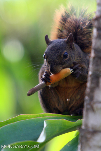 Red-tailed squirrel (Sciurus granatensis) feeding on a flower in Costa Rica [cr_3757]