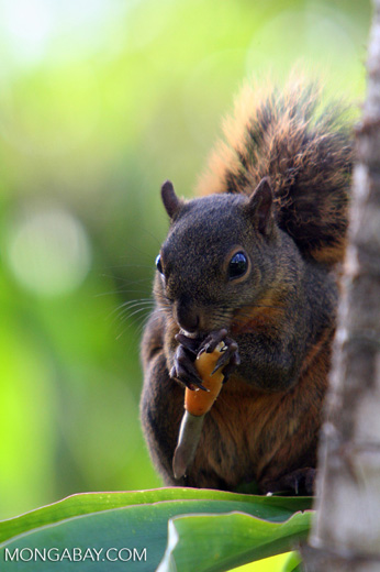 Red-tailed squirrel (Sciurus granatensis) feeding on a flower in Costa Rica [cr_3759]