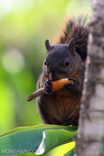 Red-tailed squirrel (Sciurus granatensis) feeding on a flower in Costa Rica [cr_3763]