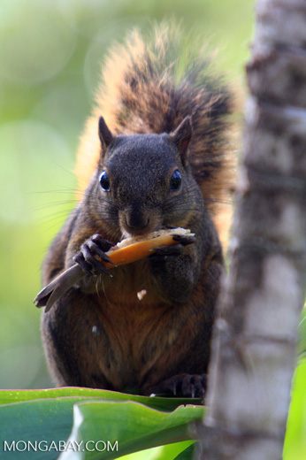 Red-tailed squirrel (Sciurus granatensis) feeding on a flower in Costa Rica [cr_3767]