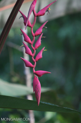 Magenta heliconia