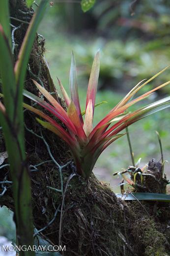 Bromeliad [cr_3848]