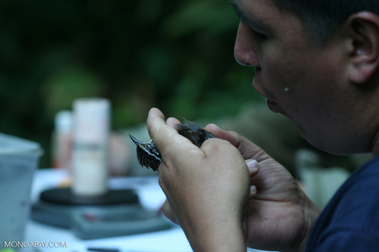 White-breasted Wood-Wren, Henicorhina leucosticta, being examined by scientists