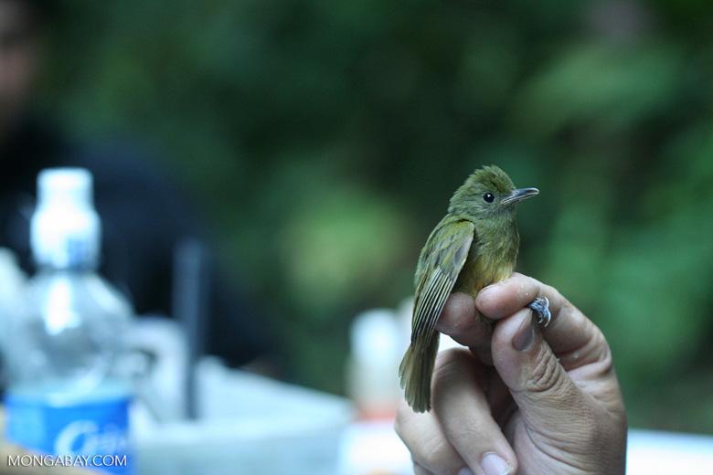 Ochre-bellied Flycatcher, Mionectes oleagineus [cr_3859]