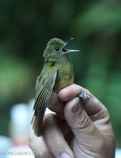 Ochre-bellied Flycatcher, Mionectes oleagineus