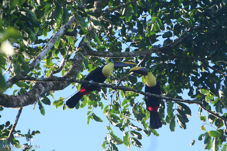 Swainson's Toucan (Ramphastos swainsonii) [cr_3887]