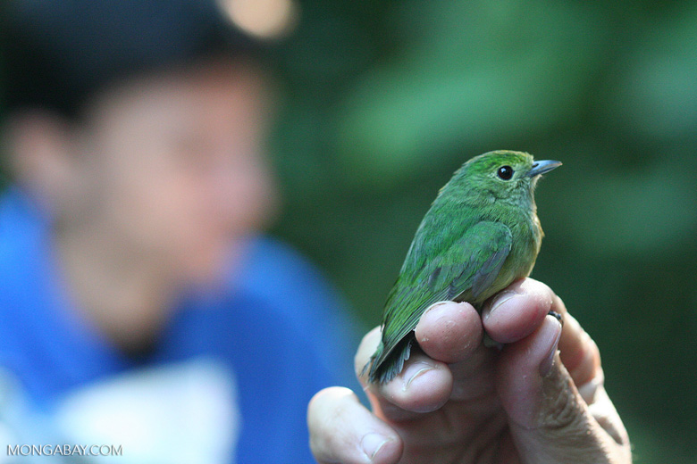 Female Blue-crowned Manakin (Pipra coronata) being examined by a researcher [cr_3913]