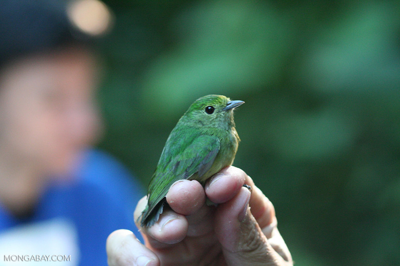 Female Blue-crowned Manakin (Pipra coronata) being examined by a researcher