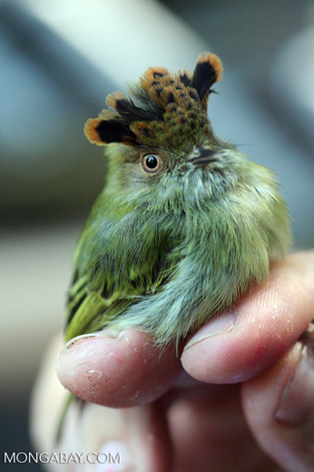 Scale-crested Pygmy-tyrant (Lophotriccus pileatus) [cr_3927]