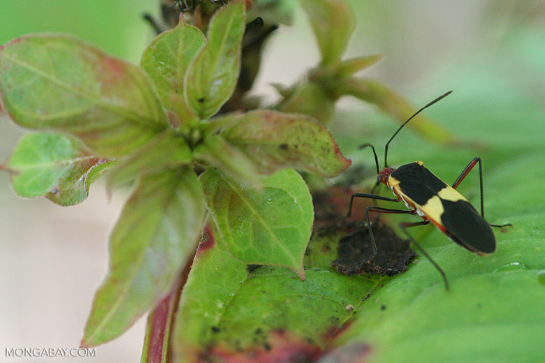Black, red, and yellow insect [cr_3962]