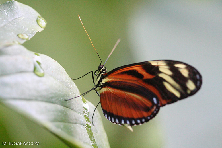 Tiger Longwing (Heliconius hecale) [Orange, yellow, and black butterfly]
