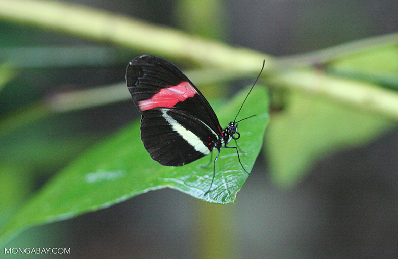 Small Postman Butterfly, Heliconius erato (Black, red, and yellow butterfly)