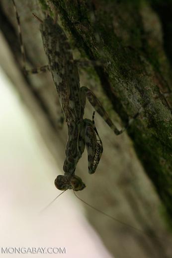 Praying mantis [cr_4013]