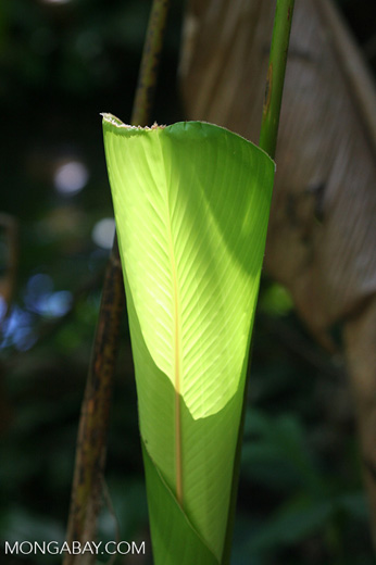 Rolled Heliconia leaf
