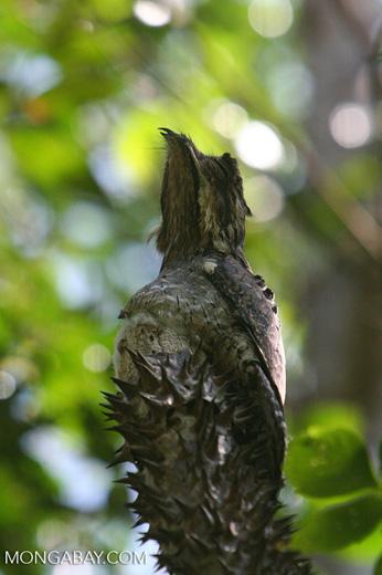 Common Potoo (Nyctibius griseus) [formerly tagged Short-tailed Nighthawk (Lurocalis semitorquatus)]