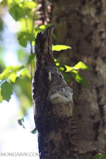 Grey Potoo (Nyctibius griseus) [formerly tagged Short-tailed Nighthawk (Lurocalis semitorquatus)]
