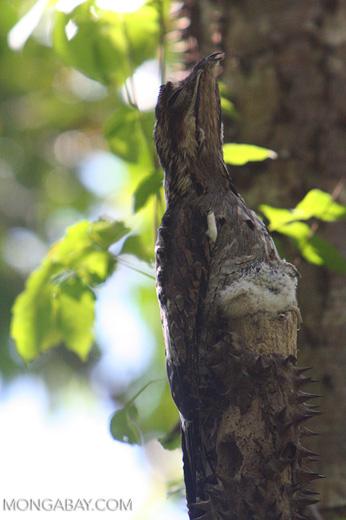 Gray Potoo (Nyctibius griseus) [formerly tagged Short-tailed Nighthawk (Lurocalis semitorquatus)]
