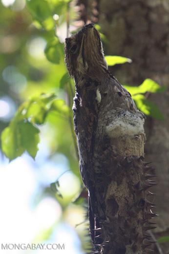 Gray Potoo (Nyctibius griseus)