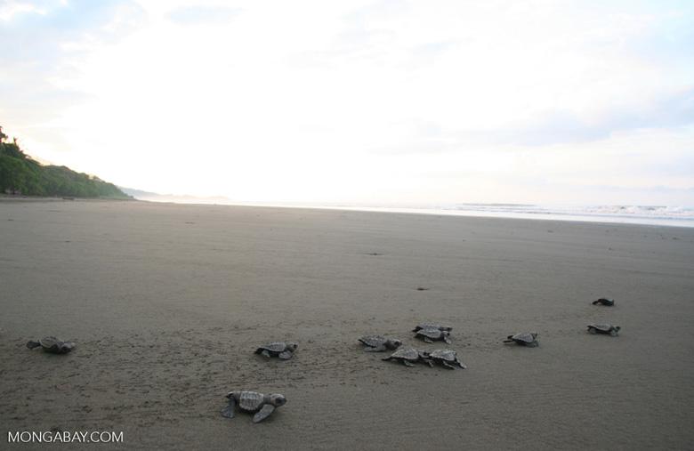Sea turtle hatchlings [cr_4194]