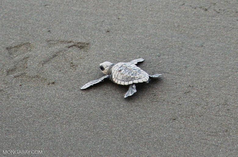 Sea turtle hatchlings [cr_4196]