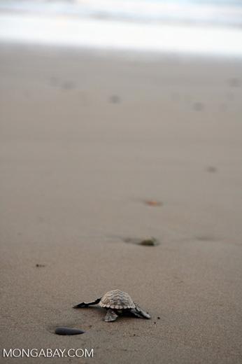 Sea turtle hatchlings [cr_4199]