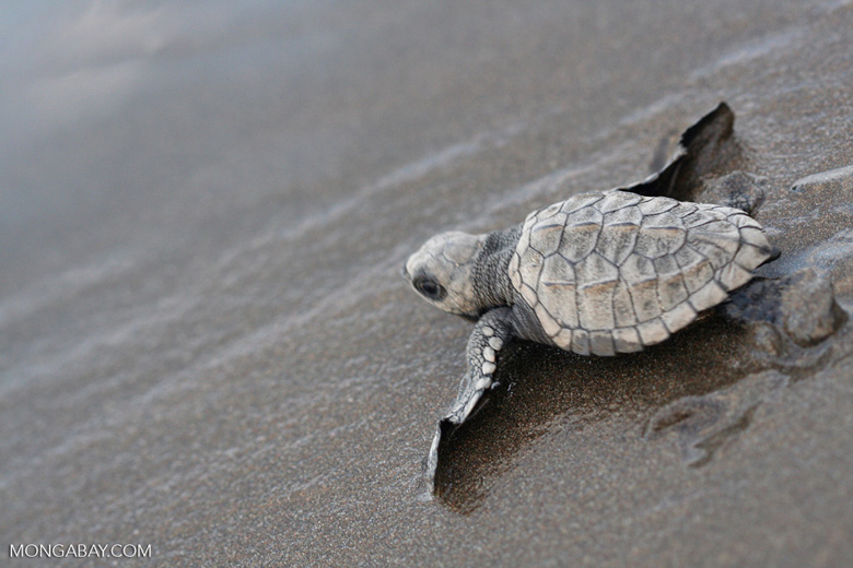 Sea turtle hatchlings [cr_4212]