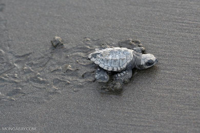 Sea turtle hatchlings [cr_4217]