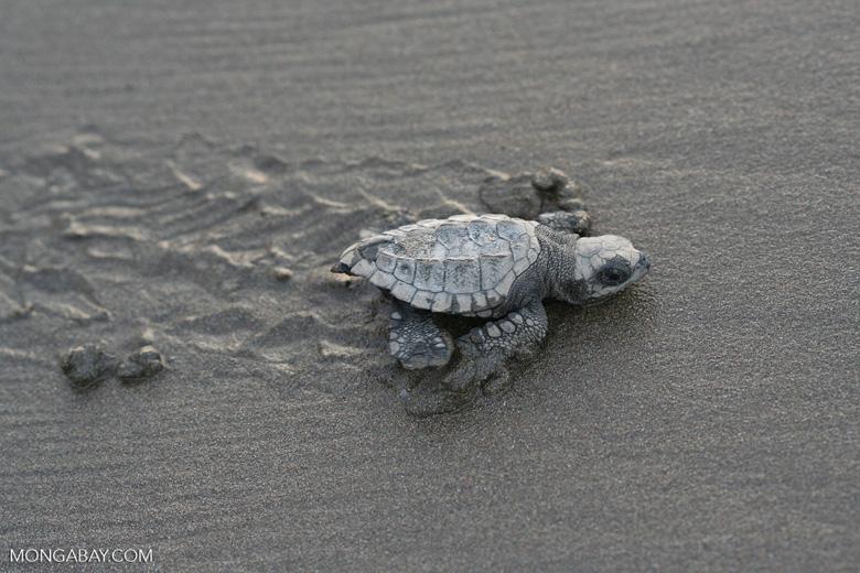 Sea turtle hatchlings [cr_4220]