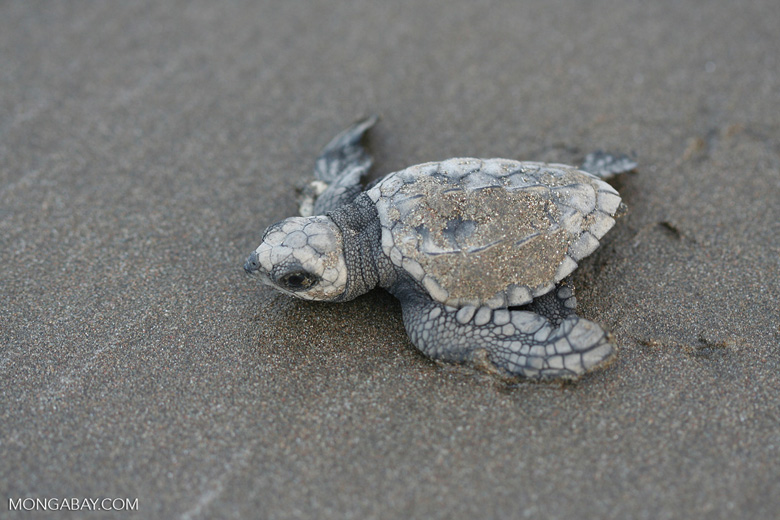 Sea turtle hatchlings [cr_4228]