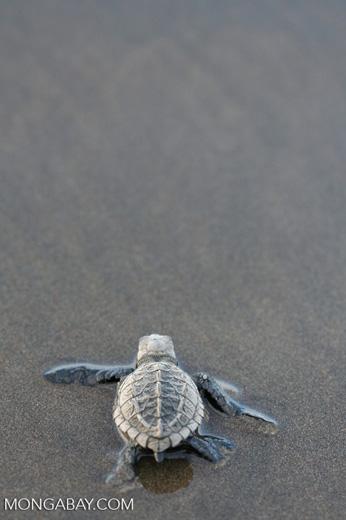 Sea turtle hatchlings [cr_4235]