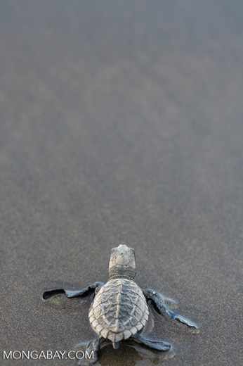 Sea turtle hatchlings [cr_4236]