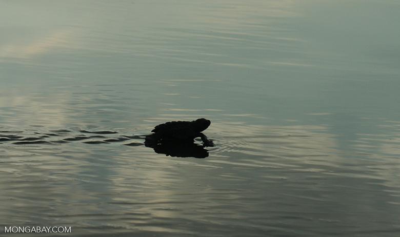 Sea turtle hatchlings [cr_4255a]