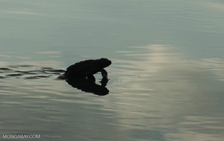 Sea turtle hatchlings [cr_4263a]