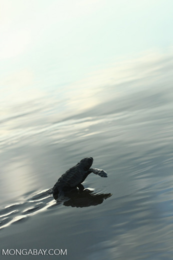 Sea turtle hatchlings [cr_4271]