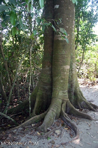 Buttress-rooted tree at Manuel Antonio National Park