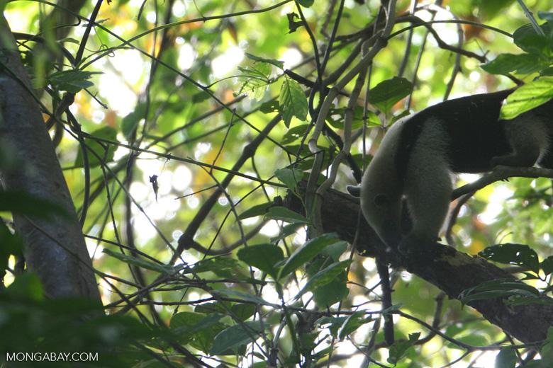 Arboreal Lesser Anteater (Tamandua tetradactyla) [cr_4320]
