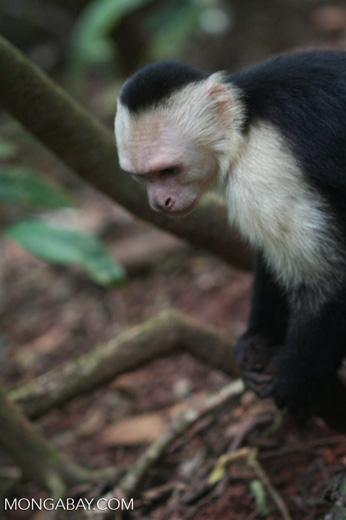 White-faced capuchin [cr_4327]