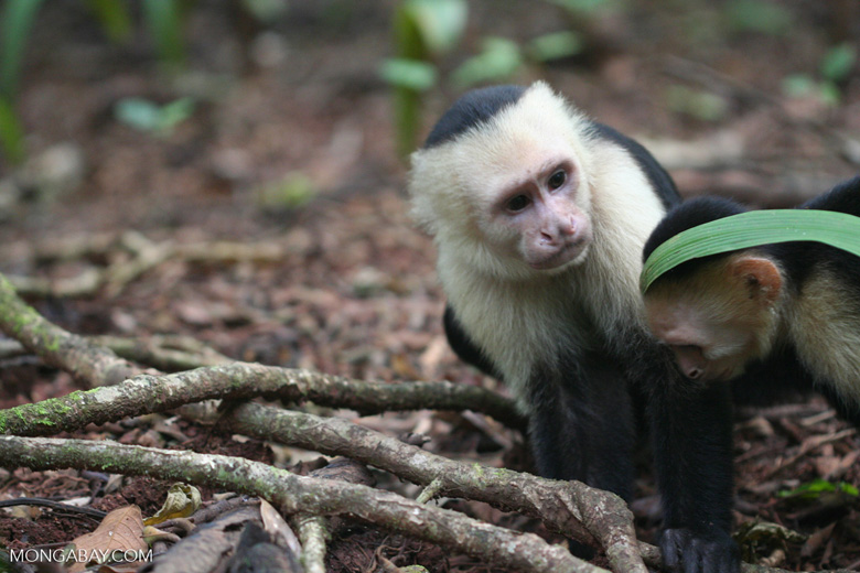 White-faced capuchin [cr_4334]