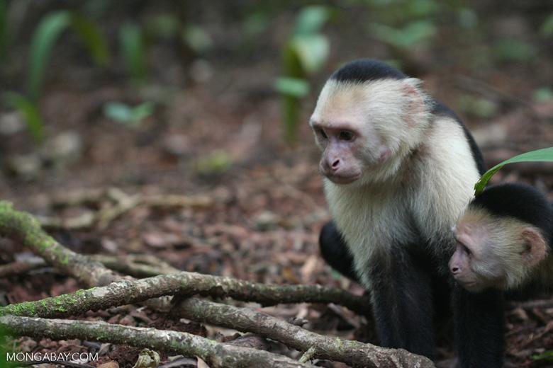White-faced capuchin [cr_4335]