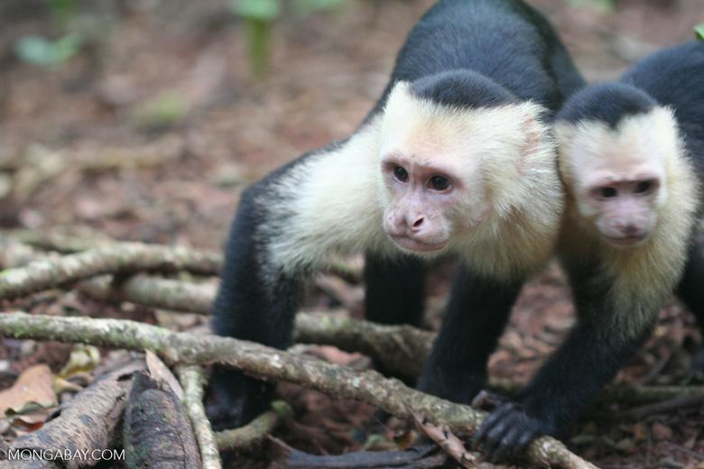 White-faced capuchin [cr_4338]