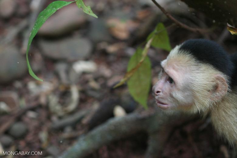 White-faced capuchin [cr_4342]