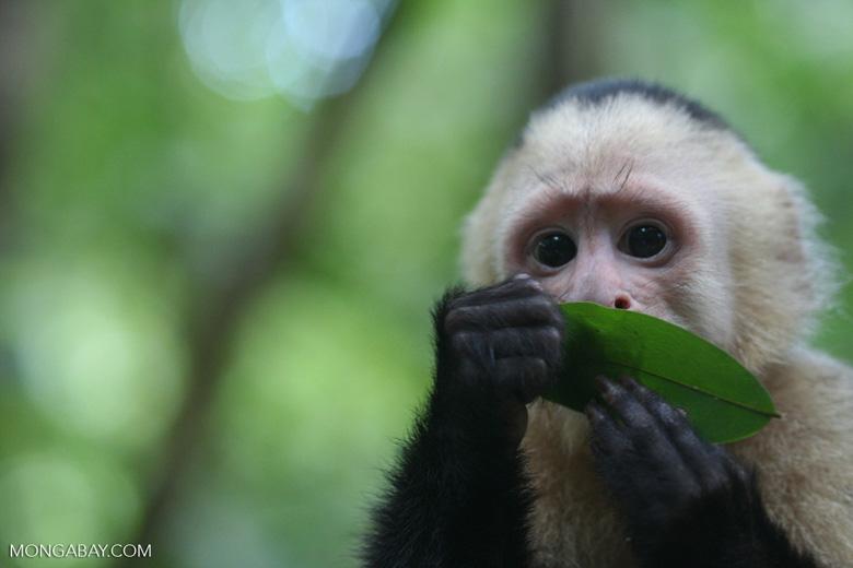 White-faced capuchin [cr_4347]